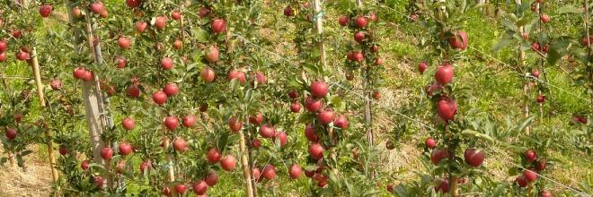 A gyümölcsültevény telepítés engedélyezésével kapcsolatos tudnivalók