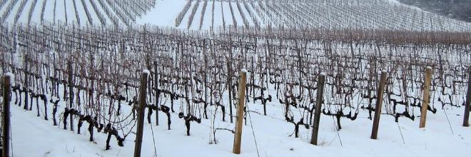 Újabb borvidékeken azonosította a Nébih a szőlő aranyszínű sárgaság betegséget